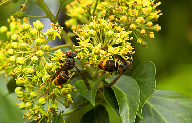 Asian Predatory Wasp (Vespa velutina) introduced species, two adults, feeding on Common Ivy (Hedera helix) flowers in autumn, Dordogne, France, November  -  Bob Gibbons/ FLPA