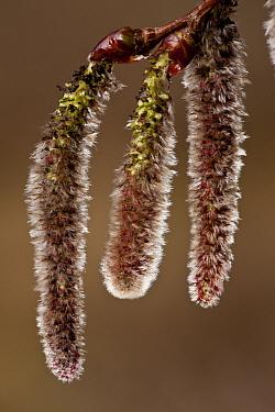White Poplar (Populus alba) close-up of catkins, Spain, March  -  Bob Gibbons/ FLPA