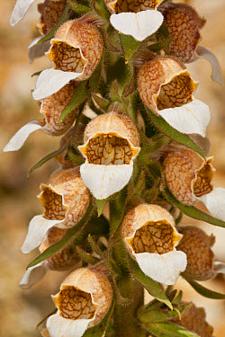 Woolly Foxglove (Digitalis lanata) close-up of flowers, Rila Mountains, Bulgaria, May  -  Bob Gibbons/ FLPA