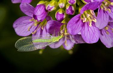 Common Green Lacewing (Chrysoperla carnea) adult, feeding on Radish-leaved Bittercress (Cardamine raphanifolia) flowers, French Pyrenees, France, June  -  Bob Gibbons/ FLPA