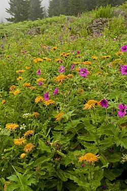 Armenian Cranesbill (Geranium psilostemon) and Giant Fleabane (Inula orientalis) flowering mass, growing in high damp pasture (at m), Kaskar Mountains, Pontic Mountains, Anatolia, Turkey, July  -  Bob Gibbons/ FLPA