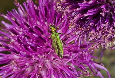 Thick-legged Flower Beetle (Oedemera nobilis) adult female, feeding on knapweed flowers, Dorset, England, July  -  Bob Gibbons/ FLPA