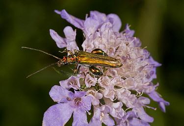 Thick-legged Flower Beetle (Oedemera nobilis) adult male, feeding on scabious flower, Dorset, England, August  -  Bob Gibbons/ FLPA