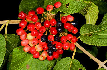 Wayfaring Tree (Viburnum lantana) close-up of ripening fruit, France, August  -  Bob Gibbons/ FLPA