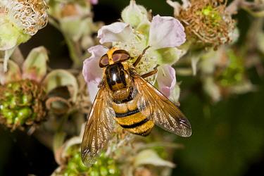 Lesser Hornet Hoverfly (Volucella inanis) adult, feeding on bramble flower, Dorset, England, August  -  Bob Gibbons/ FLPA
