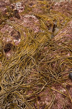 Sea-thong (Himanthalia elongata) exposed on rock at low tide, Devon, England, September  -  Bob Gibbons/ FLPA