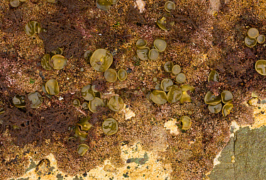 Sea-thong (Himanthalia elongata) 'buttons' growth at base of holdfast, exposed on rock at low tide, Devon, England, September  -  Bob Gibbons/ FLPA