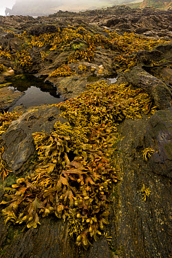 Flat Wrack (Fucus spiralis) exposed on rocks in rockpool habitat at low tide, Prawle Point, South Devon, England, September  -  Bob Gibbons/ FLPA