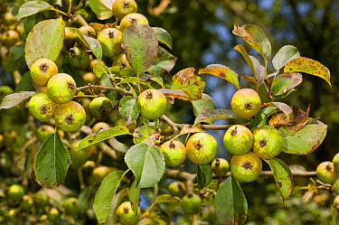 Wild Crabapple (Malus sylvestris) close-up of fruit, New Forest, Hampshire, England, August  -  Bob Gibbons/ FLPA