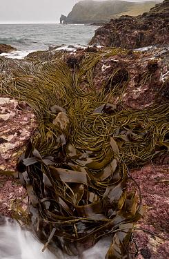 Seaweed in rockpool habitat at low tide, Prawle Point, South Devon, England, September  -  Bob Gibbons/ FLPA
