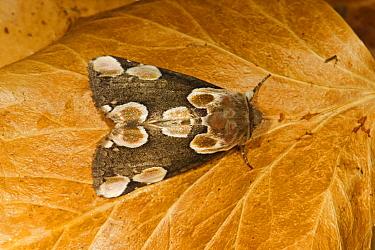 Peach Blossom Moth (Thyatira batis) adult, resting on fallen beech leaf, Norfolk, England, July  -  Roger Tidman/ FLPA