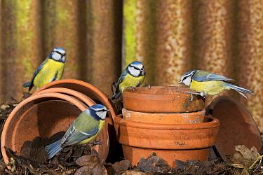 Blue Tit (Parus caeruleus) four adults, perched on flowerpots, Suffolk, England, February  -  Paul Sawer/ FLPA
