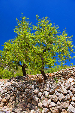 Almond (Prunus dulcis) habit, growing in orchard high in mountains, near Parcent, Marina Alta, Costa Blanca, Alicante Province, Valencia, Spain, May  -  Wayne Hutchinson/ FLPA