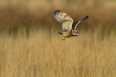 Short-eared Owl (Asio flammeus) adult, in flight, hunting over rough grassland, Pilling Moss, The Fylde, Lancashire, England, December  -  Dave Pressland/ FLPA