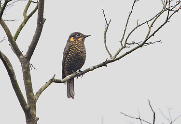 Chestnut-bellied Rock-thrush (Monticola rufiventris) adult female, perched on branch, Hong Kong, China, December  -  Martin Hale/ FLPA