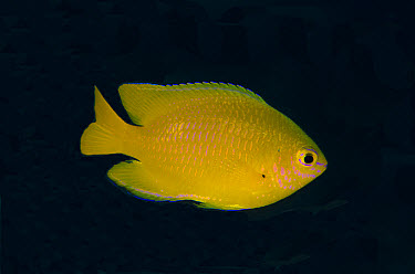 Lemon Damsel (Pomacentrus moluccensis) adult, swimming, Lembeh Straits, Sulawesi, Sunda Islands, Indonesia, January  -  Colin Marshall/ FLPA