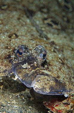Ocellated Flounder (Pseudorhombus dupliciocellatus) adult, close-up of head, Lembeh Straits, Sulawesi, Sunda Islands, Indonesia, January  -  Colin Marshall/ FLPA