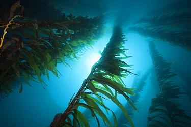 Kelp Forest Giant Kelp, Macrocystis pyrifera, San Benito Island, Mexico  -  Reinhard Dirscherl/ FLPA