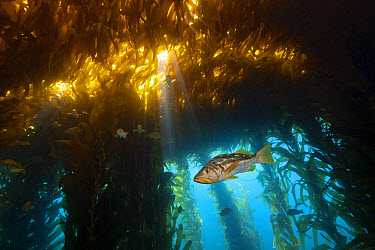 Kelp Bass in Kelp Forest, Paralabrax clathratus, San Benito Island, Mexico  -  Reinhard Dirscherl/ FLPA