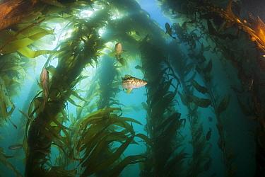Kelp Bass, Paralabrax clathratus, in kelp forest habitat, San Benito Island, Mexico  -  Reinhard Dirscherl/ FLPA