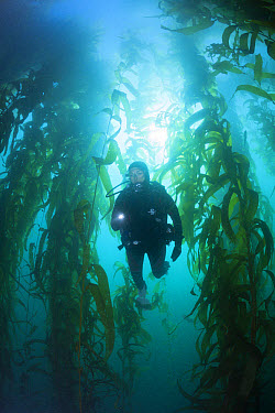 Scuba Diving in Kelp Forest, Macrocystis pyrifera, San Benito Island, Mexico  -  Reinhard Dirscherl/ FLPA