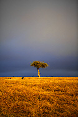 View of lone tree in grassland habitat with stormclouds, Ol Pejeta Conservancy, Laikipia District, Kenya, February  -  Ben Sadd/ FLPA