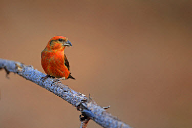 Red Crossbill (Loxia curvirostra) adult male, perched on twig, Norfolk, England, February  -  Robin Chittenden/ FLPA