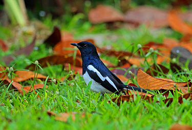 Oriental Magpie-robin (Copsychus saularis musicus) adult male, foraging amongst fallen leaves on short grass, Taman Negara National Park, Titiwangsa Mountains, Malay Peninsula, Malaysia, February  -  Neil Bowman/ FLPA