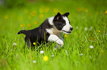 Domestic Dog, Border Collie, puppy, running in meadow, Cumbria, England, June  -  Wayne Hutchinson/ FLPA