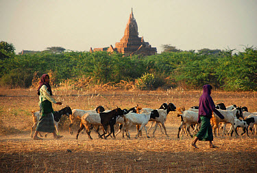 Domestic Goat, herd, with goatherders and Buddhist temple in distance, Bagan, Mandalay Region, Myanmar, January  -  Derek Hall/ FLPA