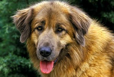 Domestic Dog, Estrela Mountain Dog, adult, close-up of head, panting  -  Gerard Lacz/ FLPA