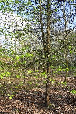 Wild Pear (Pyrus pyraster) habit, growing in woodland, Vicarage Plantation, Mendlesham, Suffolk, England, April  -  Marcus Webb/ FLPA