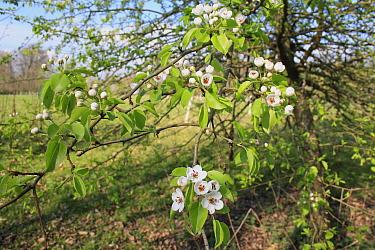 Wild Pear (Pyrus pyraster) flowering, growing in woodland, Vicarage Plantation, Mendlesham, Suffolk, England, April  -  Marcus Webb/ FLPA