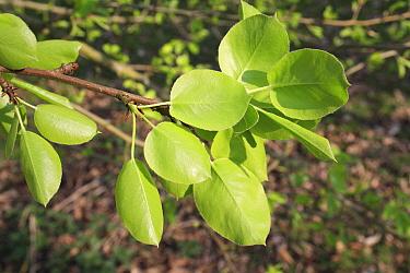 Wild Pear (Pyrus pyraster) close-up of leaves underside, growing in woodland, Vicarage Plantation, Mendlesham, Suffolk, England, April  -  Marcus Webb/ FLPA