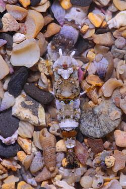 Shrimp (Philocheras fasciatus) adult, in shallow pool, Kimmeridge, Isle of Purbeck, Dorset, England, March  -  Steve Trewhella/ FLPA