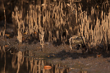 Greater Painted-snipe (Rostratula benghalensis) adult male, standing on mud in mangrove swamp, Gambia, February  -  Bill Coster/ FLPA