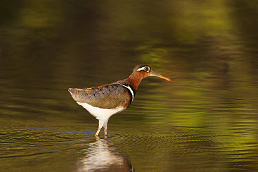 Greater Painted-snipe (Rostratula benghalensis) adult female, walking in shallow water, in mangrove swamp, Gambia, February  -  Bill Coster/ FLPA