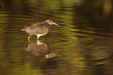 Greater Painted-snipe (Rostratula benghalensis) adult male, walking in shallow water with reflection, in mangrove swamp, Gambia, February  -  Bill Coster/ FLPA
