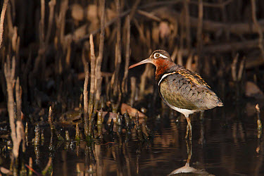 Greater Painted-snipe (Rostratula benghalensis) adult female, standing in shallow water, in mangrove swamp, Gambia, February  -  Bill Coster/ FLPA