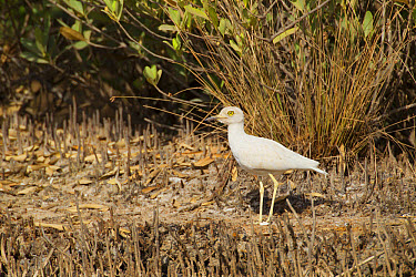 Senegal Thick-knee (Burhinus senegalensis) adult, leucistic, standing in mangrove swamp, Gambia, February  -  Bill Coster/ FLPA