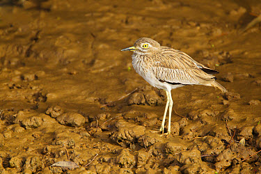 Senegal Thick-knee (Burhinus senegalensis) adult, standing on mud, Gambia, February  -  Bill Coster/ FLPA