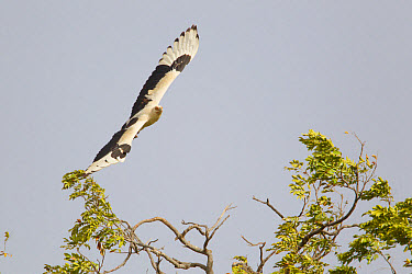 Palm-nut Vulture (Gypohierax angolensis) adult, in flight, Gambia, February  -  Bill Coster/ FLPA