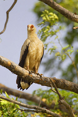 Palm-nut Vulture (Gypohierax angolensis) adult, perched on branch, Gambia, February  -  Bill Coster/ FLPA