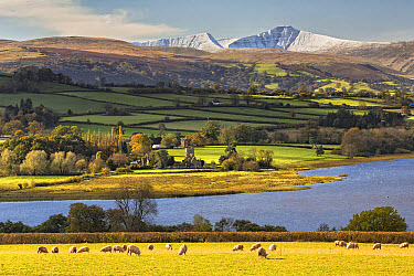 View of sheep grazing in pasture, lake and snow covered hills in distance, Llangorse Lake, Penyfan, Brecon Beacons National Park, Powys, Wales, November  -  Allen Lloyd/ FLPA