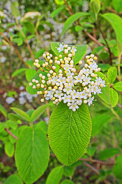 Wayfaring Tree (Viburnum lantana) close-up of flowers and leaves, growing in woodland, Vicarage Plantation, Mendlesham, Suffolk, England, April  -  Marcus Webb/ FLPA