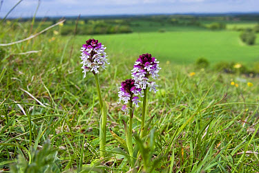 Burnt Orchid (Orchis ustulata) flowering, growing in chalk downland habitat, Knocking Hoe N.N.R., Bedfordshire, England, May  -  Kevin Elsby/ FLPA