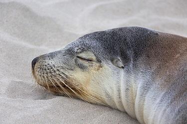 Australian Sealion (Neophoca cinerea) adult female, close-up of head, sleeping on sandy beach, Seal Bay, Kangaroo Island, South Australia, Australia, February  -  Bernd Rohrschneider/ FLPA