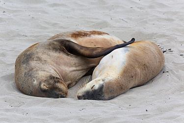 Australian Sealion (Neophoca cinerea) adult pair, sleeping on sandy beach, Seal Bay, Kangaroo Island, South Australia, Australia, February  -  Bernd Rohrschneider/ FLPA