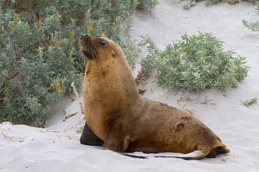 Australian Sealion (Neophoca cinerea) adult male, on sandy beach, Seal Bay, Kangaroo Island, South Australia, Australia, February  -  Bernd Rohrschneider/ FLPA
