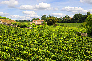 View over vineyards around the town of St Emilion in the Bordeaux Region of France  -  Nigel Cattlin/ FLPA